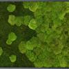 Mechový obraz přechodu kopečkového mechu v lesní mech 100x60