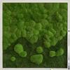 Mechový obraz přechodu kopečkového mechu v lesní mech 80x80
